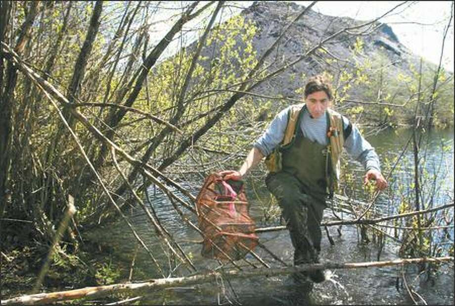 Charlie Crisafulli sets out frog traps near Mount St. Helens. The ecologist says key scientists studying the area are close to the end of their careers. Photo: JOSHUA TRUJILLO/P-I