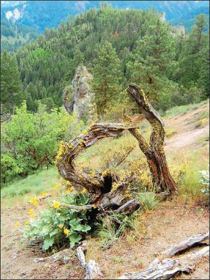 The Red Hill Trail runs along a long, rolling ridge near Cashmere and joins the Tronsen Ridge Trail. May is the ideal time to visit. Photo: KAREN SYKES