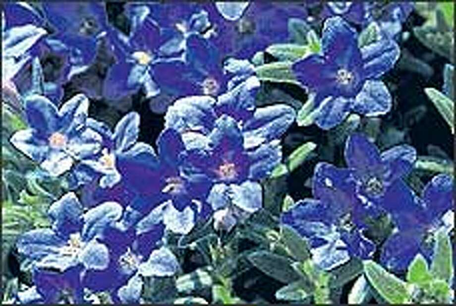 Don't feel blue about your drooping Lithodora: Just prune it after bloom. Photo: MONROVIA