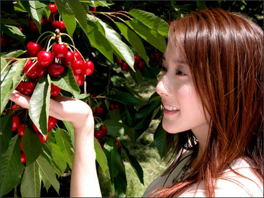 A music video to be shown on MTV Asia stars Taiwanese pop star eVonne cavorting in a Northwest cherry field. It's part of a successful Northwest Cherry Growers marketing campaign to sell the fruit to the Asian island by promoting it as a hip, foreign luxury. Photo: / / Northwest Cherry Growers