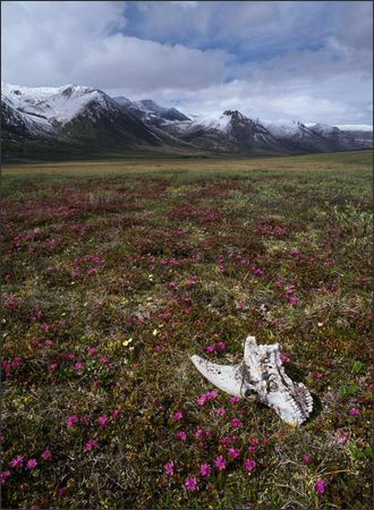 Tundra and wild flowers. (Photo by Subhankar Banerjee, courtesy of Gerald Peters Gallery, Santa Fe/New York)