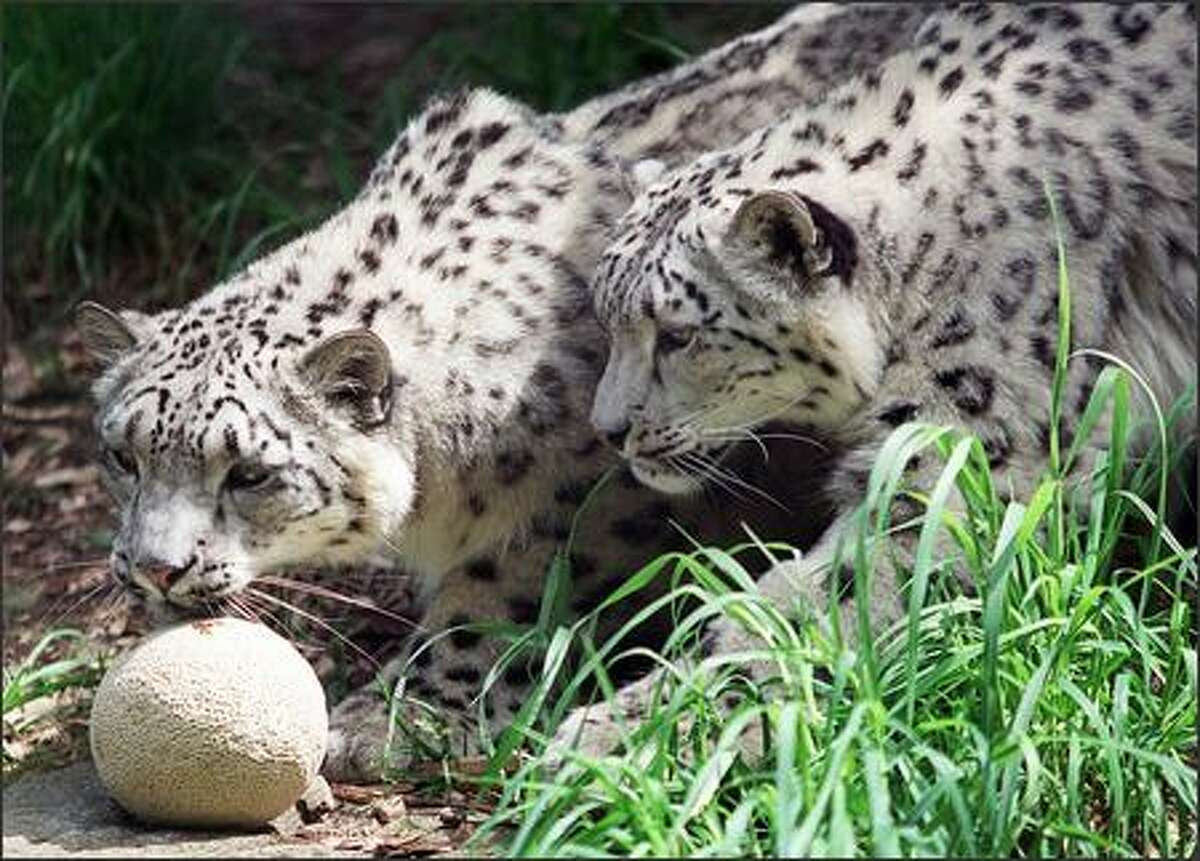 Two-year-old snow leopard cups Tonja, left, and Tomiris cautiously approach a cantaloupe at the Woodland Park Zoo.
