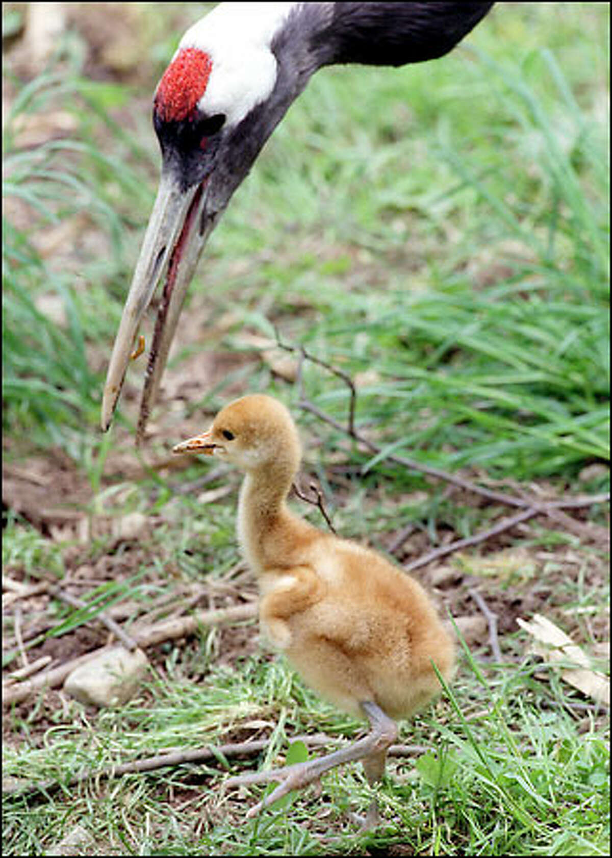 This is a one-week-old baby Red-Crowned Crane at Woodland Park Zoo. The chick is watched over by it's dad.
