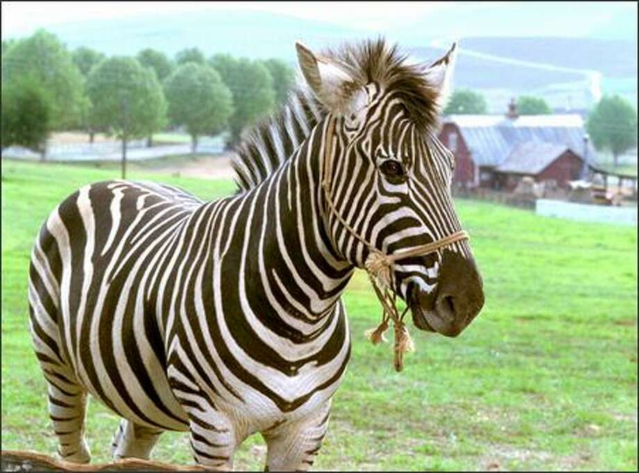 "Frankie Muniz, star of Fox TV's ""Malcolm in the Middle,"" provides the voice of Stripes, a zebra who dreams of becoming a racehorse, in this mixed live-action/CGI film. Photo: Warner Brothers"