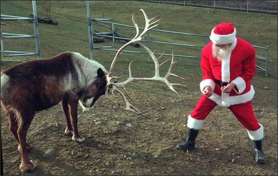 Santa Claus stopped by his reindeer farm at Cougar Mountain Zoological Park in Issaquah to feed the team some apples. Photo: Phil H. Webber, Seattle Post-Intelligencer