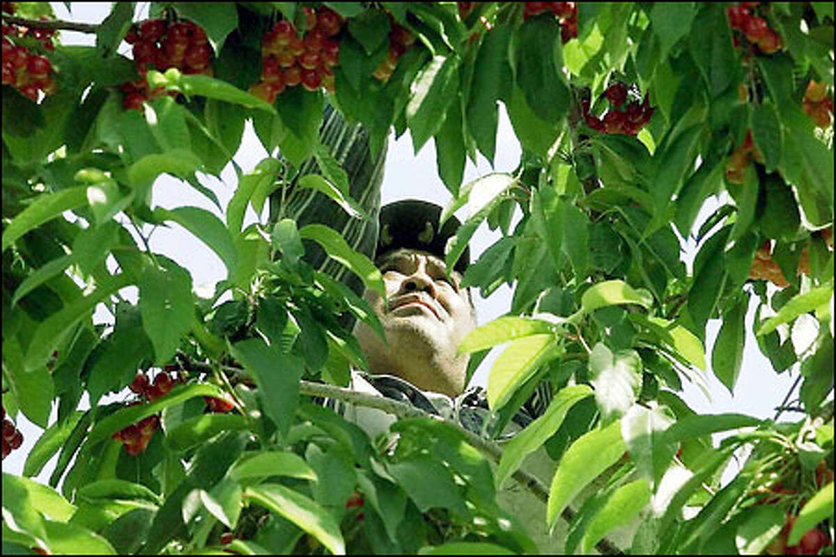 Juan Zuniga, who immigrated from Mexico 15 years ago, plucks ripe cherries.