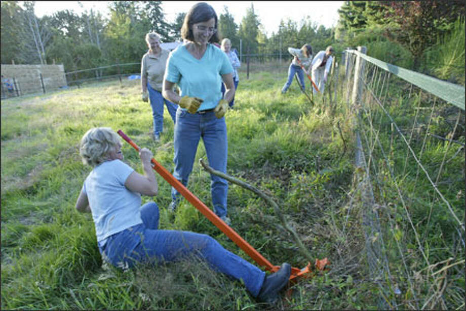 March Twisdale of Vashon falls while trying to uproot Scotch broom during a workshop taught by King County weed control expert Sasha Shaw. Photo: Mike Urban/Seattle Post-Intelligencer / Seattle Post-Intelligencer