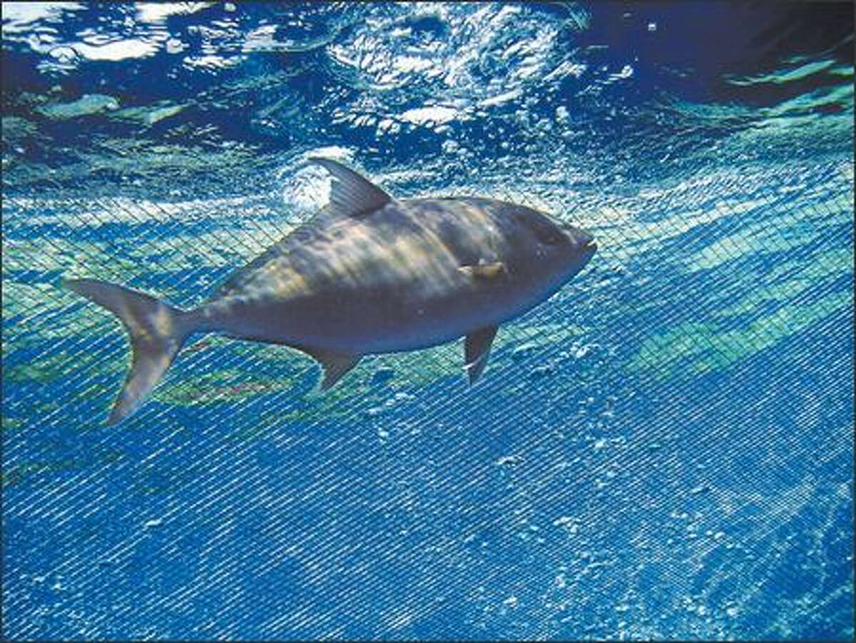 Kona Blue Water Farms grows Kona Kampachi in large, space-age cages submerged in 200 feet of ocean.