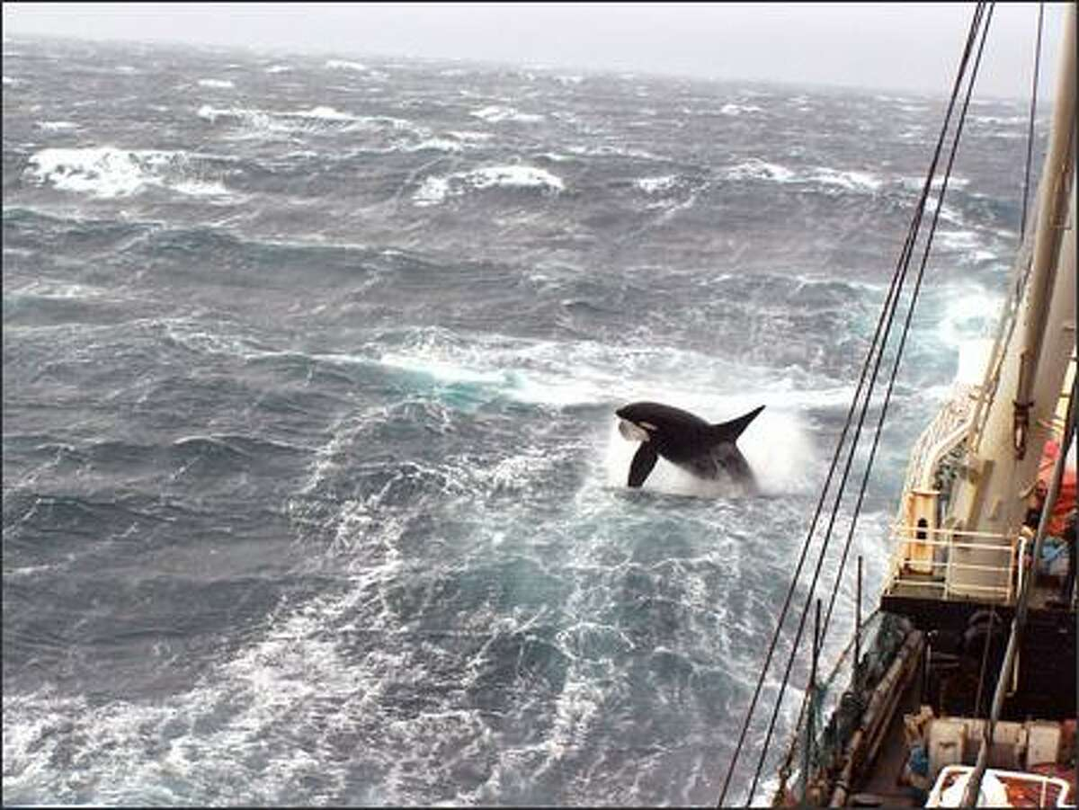 Before starting their 12-hour shifts aboard the Excellence, Rose and Alex usually would sit together and watch the orcas play in the sea near the boat. Rose said sometimes the orcas were