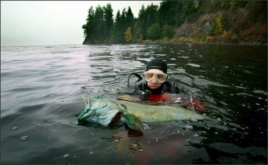 """A dead lingcod pulled out of Hood Canal in September reflects a haunting conclusion by those who know Puget Sound: """"Dead zones"""" are spreading. Photo: Paul Joseph Brown, Seattle Post-Intelligencer"""