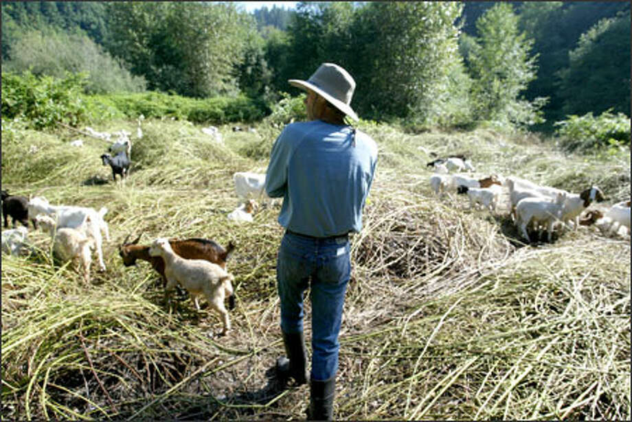 Craig Madsen watches his goats clear weeds and blackberry bushes on land owned by the city of Auburn. Photo: Scott Eklund/Seattle Post-Intelligencer / Seattle Post-Intelligencer