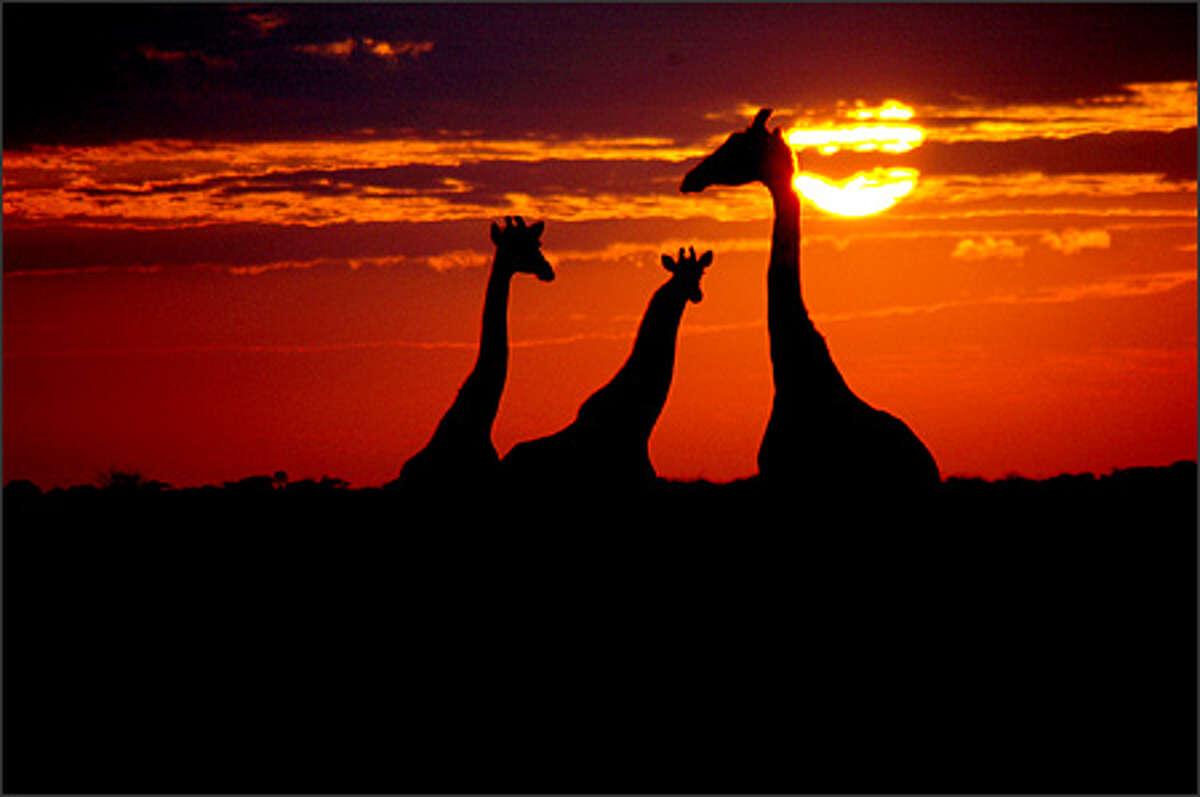 A trio of giraffes at sunrise.