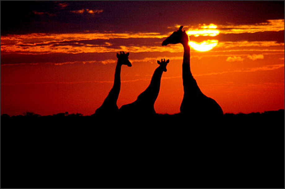 A trio of giraffes at sunrise. Photo: Nate Engstrom