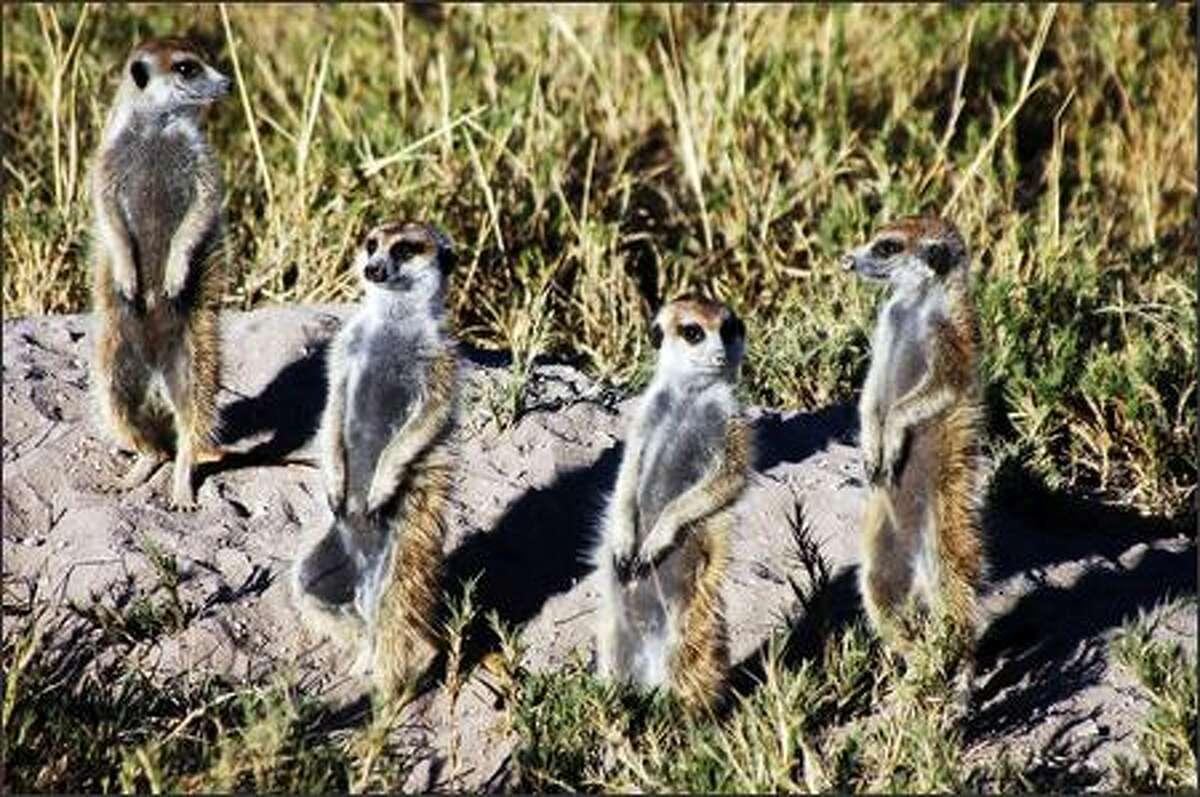Curious meerkats on alert outside their den.
