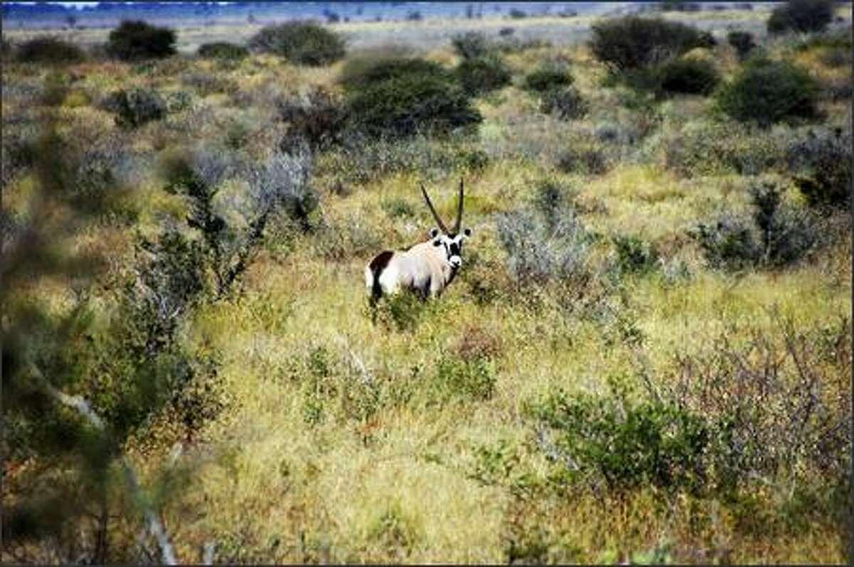 An oryx sports dangerous, spear-like horns.