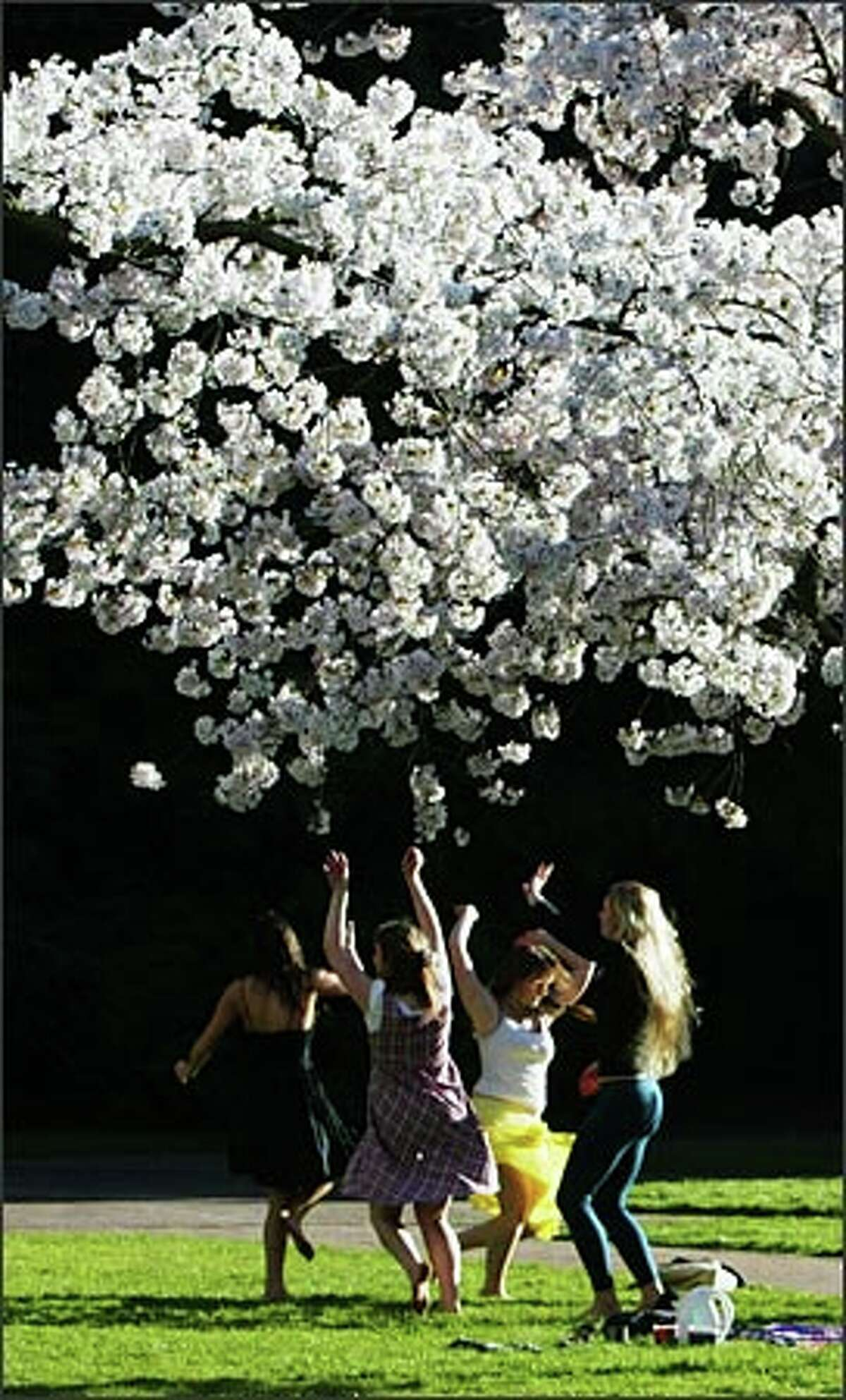 Cherry tree blossoms and sunshine greet students on their first day back on campus after the University of Washington's spring break. Dancing under the cherry tree blossoms are, from left: Saki Jane Marsh, 20, a sophomore at Portland State University; and UW students Lucy Burnett, 18, a freshman; sophomore Megan Sandoz, 19; and freshman Katie Kassa, 19.Haller: The first day of classes, the first day the cherry tree blossoms came out, sunshine and dancing students. What a wonderful spring day to enjoy.