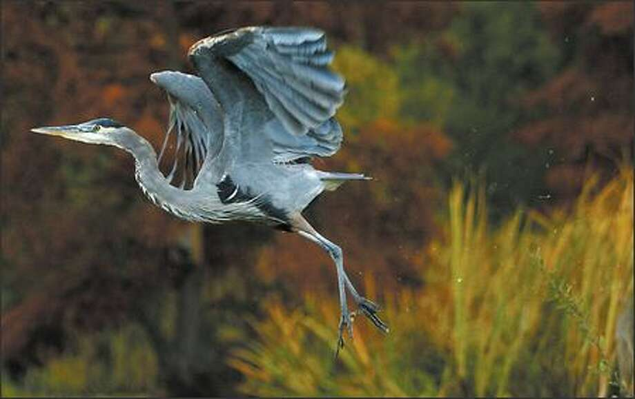 A resident great blue heron takes flight from Foster Island, which can be seen from under the state Route 520 Bridge in the top photo. Plans call for an expansion of 520 to be built over the Washington Park Arboretum marsh islands, which are habitat for numerous species. Photo: Joshua Trujillo, Seattlepi.com