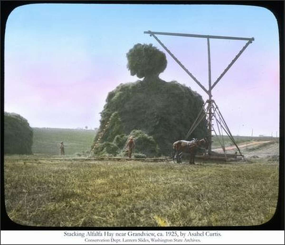 Stacking Alfalfa Hay near Grandview, ca. 1925, Photo by Asahel Curtis. Conservation Dept. Lantern Slides, Washington State Archives