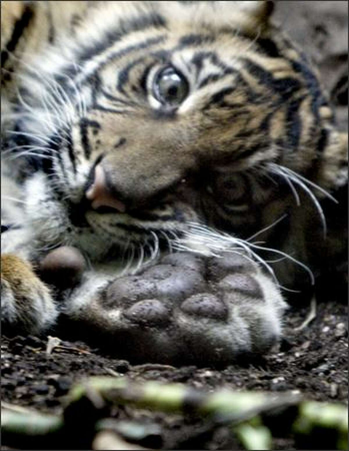 """Hadia's dirty paw is displayed as she takes a short rest. The female Sumatran tiger cub was put on display for the first time Monday at the Woodland Park Zoo. The cub's name, which means """"gift"""" in Sumatran, was announced prior to the cub being shown."""