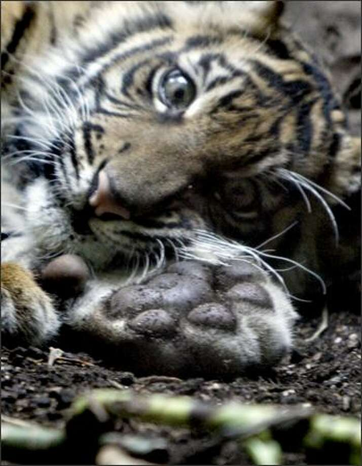 "Hadia's dirty paw is displayed as she takes a short rest. The female Sumatran tiger cub was put on display for the first time Monday at the Woodland Park Zoo. The cub's name, which means ""gift"" in Sumatran, was announced prior to the cub being shown. Photo: Andy Rogers, Seattle Post-Intelligencer"