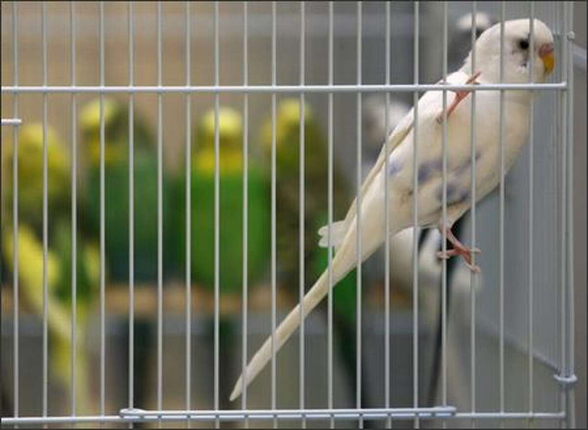 The Seattle Animal Shelter is seeking homes for 110 parakeets its officers rescued this morning. The birds, officially known as Budgerigar or