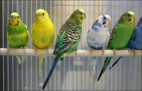 100 parakeets in need of a home - seattlepi com