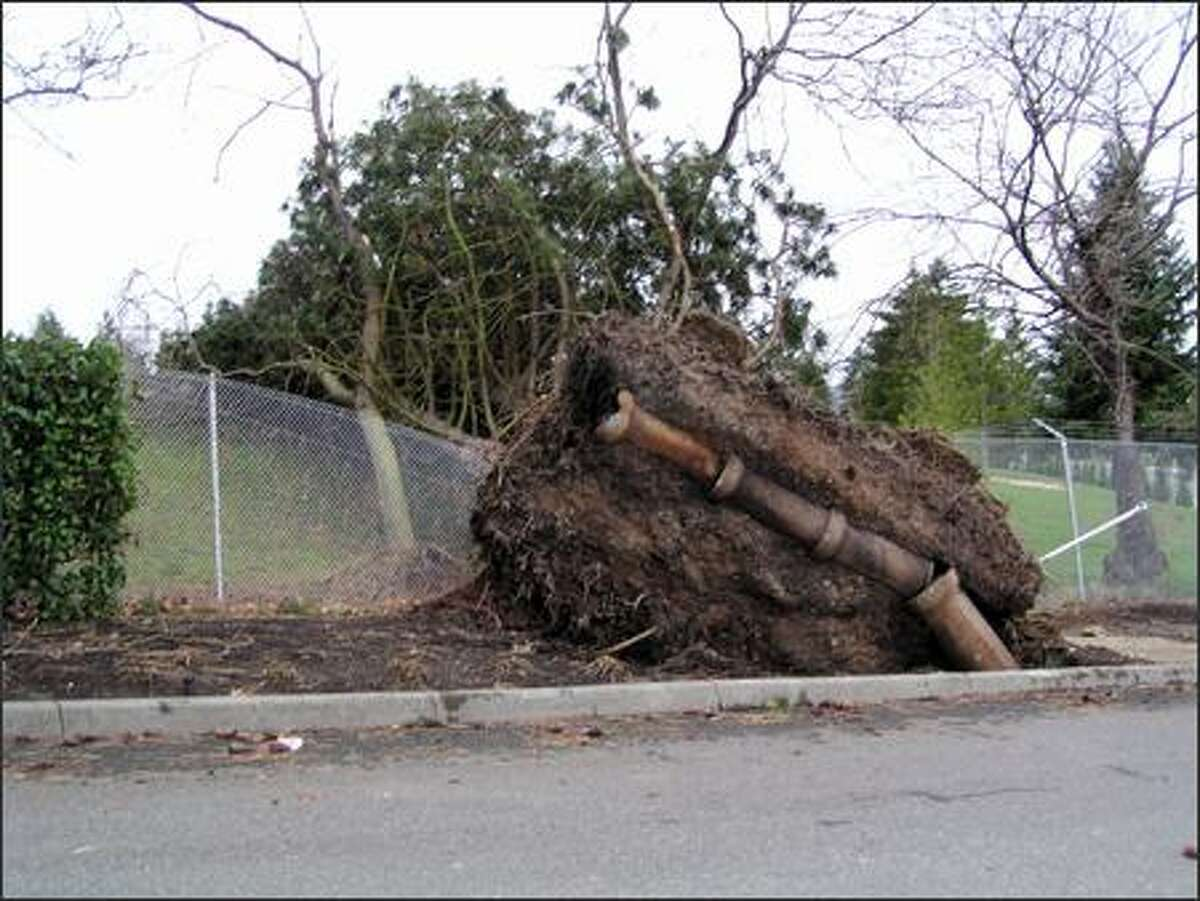 An uprooted tree is shown at Rainier Golf Course. (Submitted by Jean Hitch)