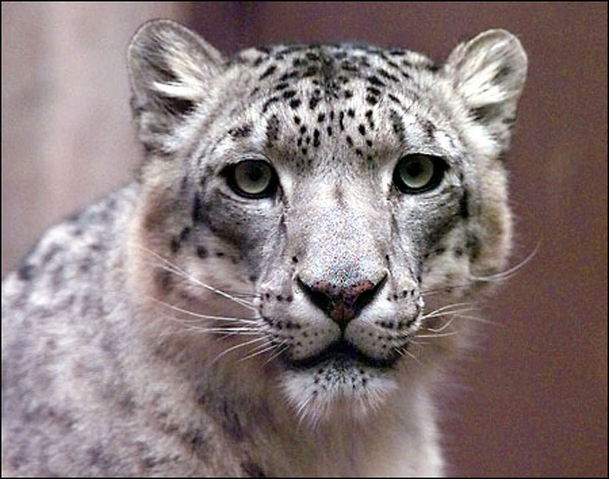 The snow leopard, a wild, elusive cat that inhabits the mountains of Central Asia, is high on the list of endangered species.
