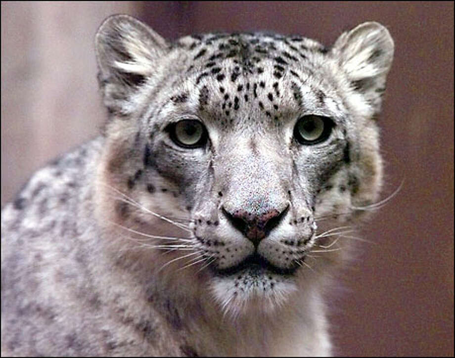 The snow leopard, a wild, elusive cat that inhabits the mountains of Central Asia, is high on the list of endangered species. Photo: Associated Press