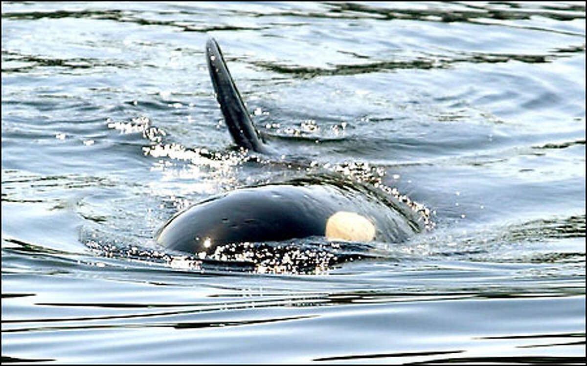 """Orca A-73 -- """"Boo,"""" as she's known to Vashon Islanders -- turns a pectoral fin to the sky as she swims near the Seattle-bound ferry Issaquah."""