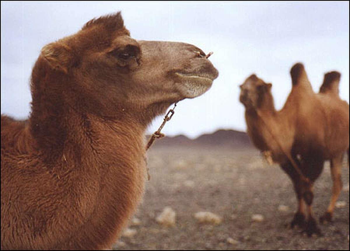 Bactrian camels on the Gobi desert.