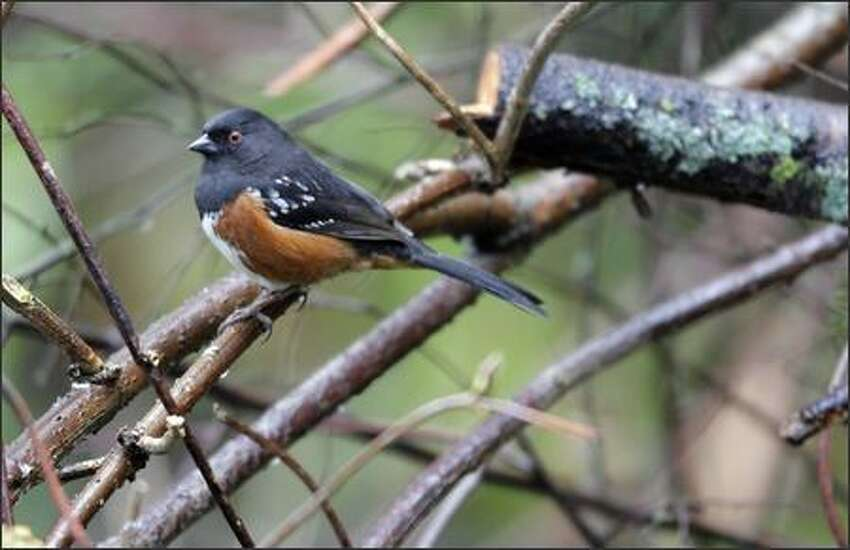 A spotted towhee is seen in the backyard of Judy Roan's home on Mercer Island on Friday.