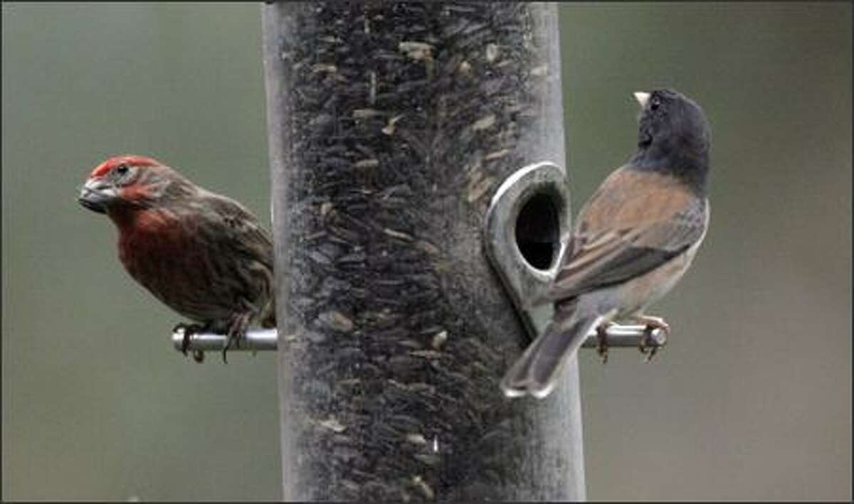 A house finch, left, and a dark-eyed junco perch in the backyard of Judy Roan's home on Mercer Island on Friday.