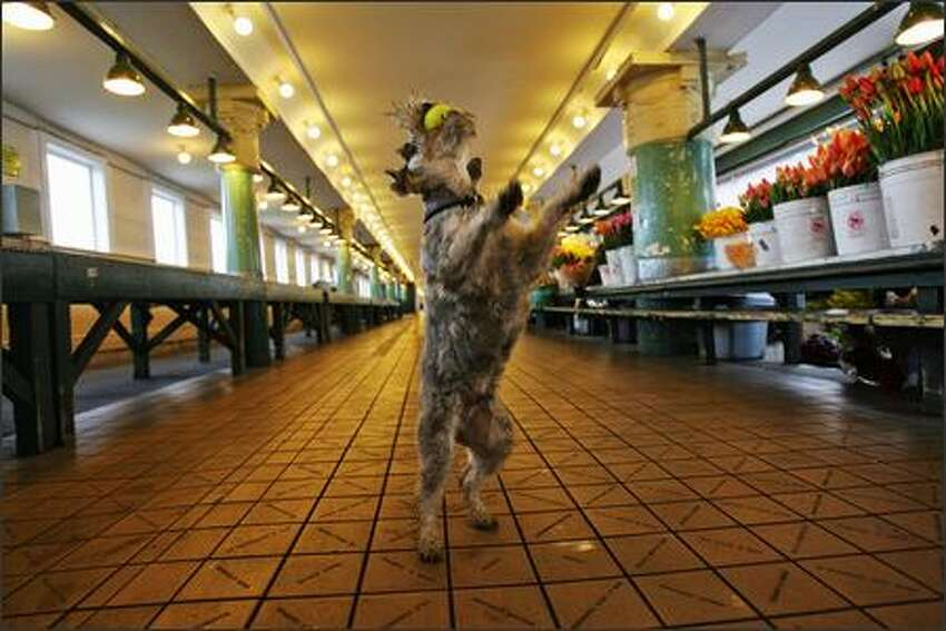Binx, a miniature schnauzer owned by novelist Randy Sue Coburn, catches a tennis ball during during his morning walk through the main arcade at Pike Place Market.