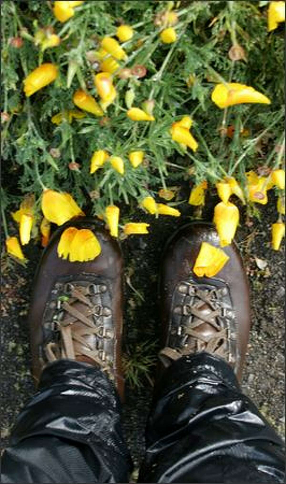 California poppies, the California State flower, are rampant in the spring along Humboldt County's Lost Coast Trail.