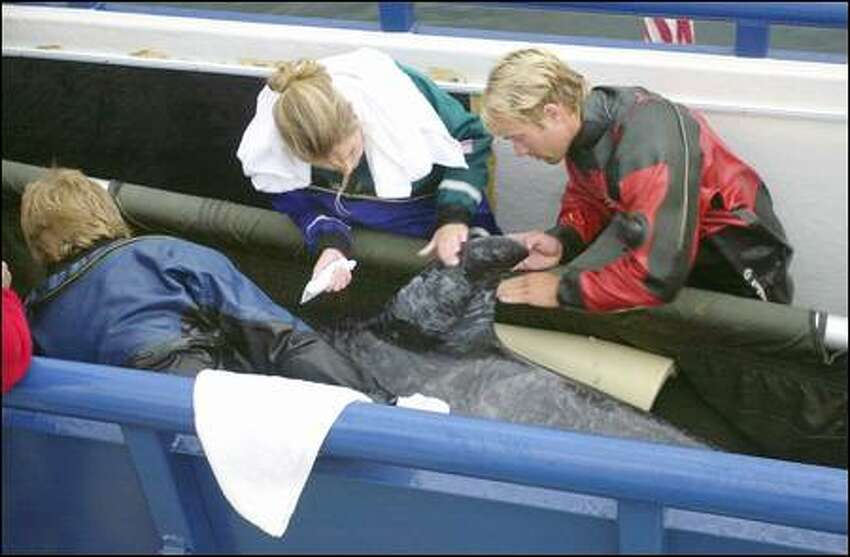 Jen Schorr and her brother, Greg, apply A&D ointment to the orca whale's exposed dorsal fin after she's positioned in an 18-by-5-foot container on board a catamaran. Jeff Foster, left, the team leader, checks the orca. Orcas are extremely tactile animals and someone from the team will remain in the tank throughout the 380-mile trip to her native Canadian waters.