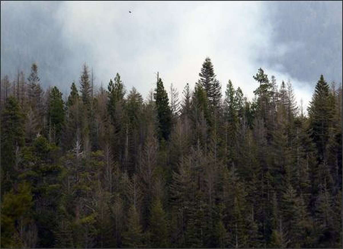 A stand of diseased and dying trees near the site of a controlled burn in the Okanagan-Wenatchee National Forest near Naches on Friday May 18, 2007. The burn was to thin dense ground cover to prevent future wild fires as part of a forest management plan.