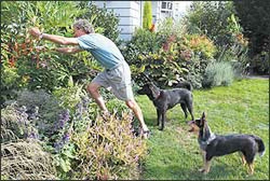 In garden areas where his dogs have access, Ciscoe Morris uses tough plants that can bounce back from canine capers. Photo: Meryl Schenker/P-I