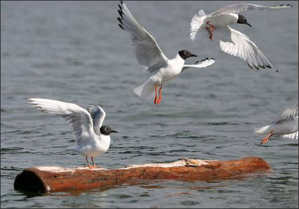 Bonaparte's gulls take flight from driftwood in Westcott Bay on San Juan Island.