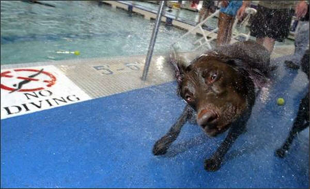 """Rainier, a chocolate lab, shakes off after a good swim at the Seattle Parks and Recreation """"Dunkin' Doggies: Dog Swim"""" at Helene Madison Pool in Seattle."""