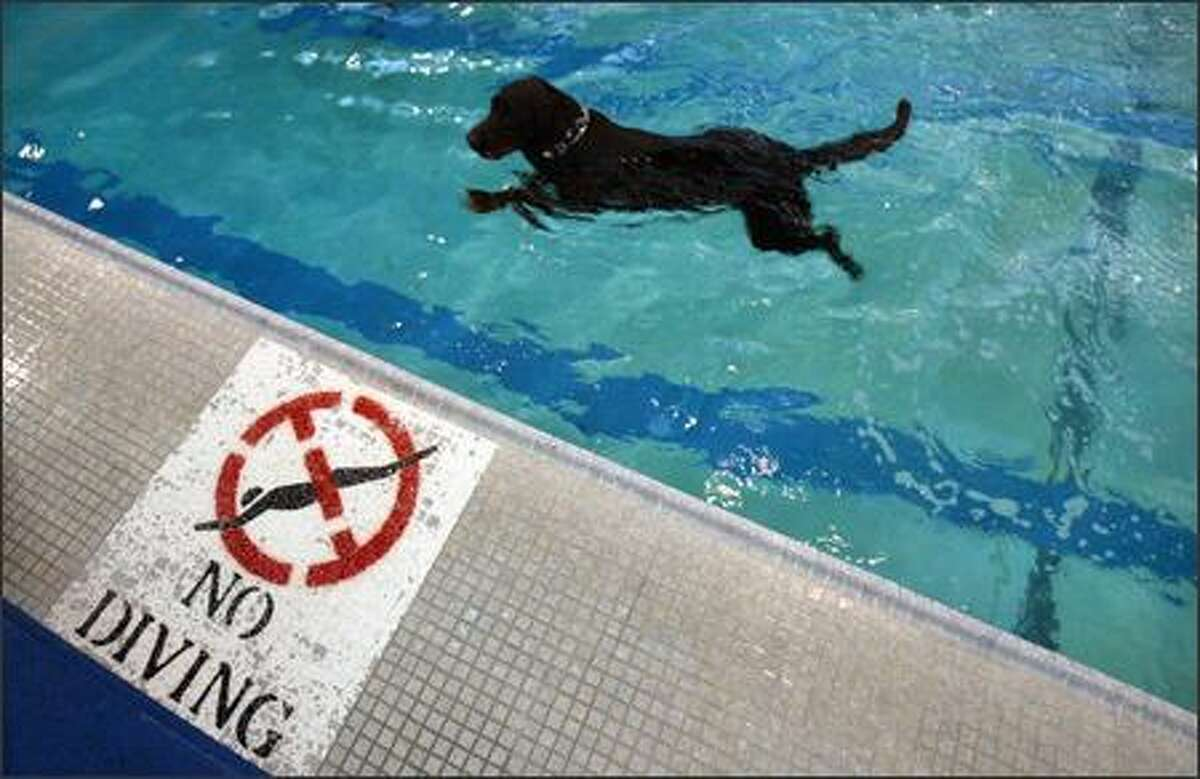 """Diving and swimming were encouraged Saturday at the Seattle Parks and Recreation """"Dunkin' Doggies: Dog Swim"""" at Helene Madison Pool in Seattle ."""