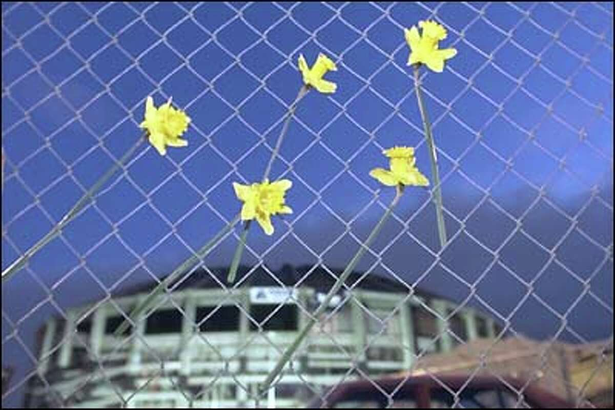 Despite its infamous inadequacies, many Seattleites are sad to see the Dome go. Someone left these daffodils in the fence outside the demolition area.