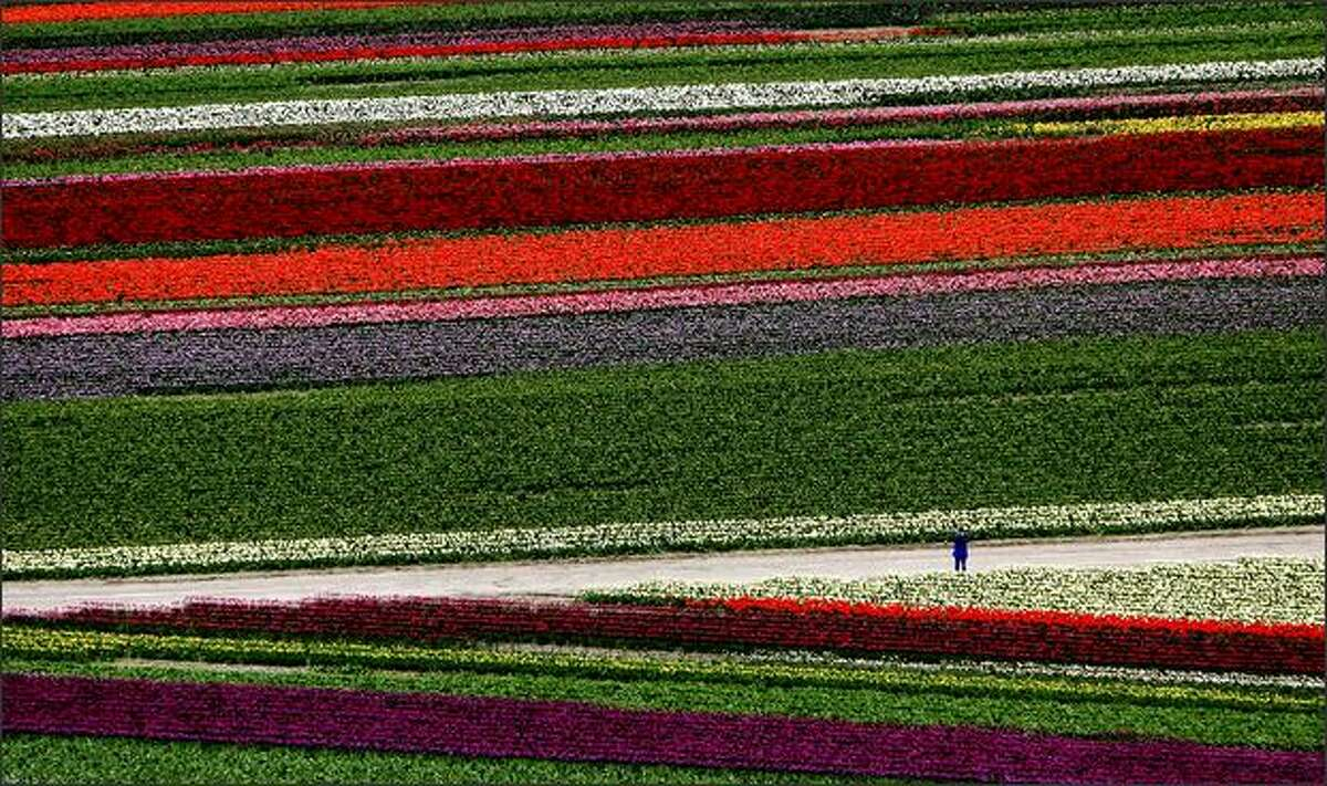 In an aerial view, a person pauses to take a photo in the fields of color at the Skagit Valley Bulb Farm's Tulip Town near Mount Vernon.DeLong: The helicopter was only up for a minute, we were maybe at 1,500 feet, and I was already concerned. The tulip fields had shrunk to postage stamp-size blocks of color in the vast Skagit Valley. After circling the tulips, I still wasn't sure what to do. If I shot it too tight there wasn't enough color banding. Too wide and the people, critical to include in my mind, were too small. Alas, I settled on this image, even though the lone figure blends too much into the background.
