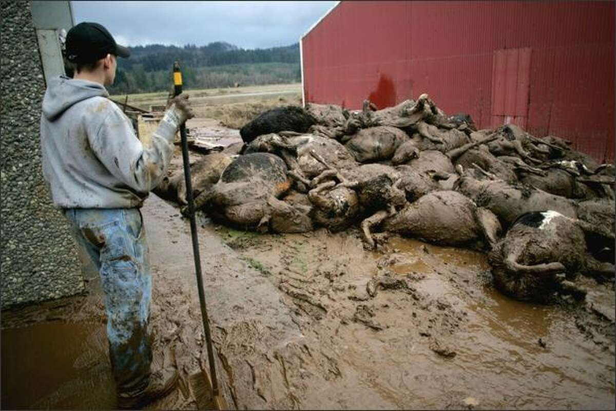 Estimates suggest more than 20,000 cattle died in a massive blizzard that hit the Texas Panhandle in late December. PICTURED: a worker looks on a pile of dairy cows killed in floods near Curtis, Washington in 2007.