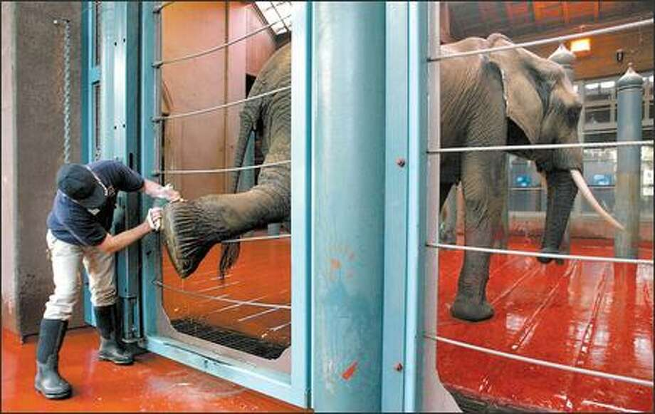 Steve Cramer scrubs the foot of Watoto, an African elephant, at Woodland Park Zoo. Activists want an elephant in Tacoma sent to a sanctuary in Tennessee. Photo: Gilbert W. Arias/Seattle Post-Intelligencer