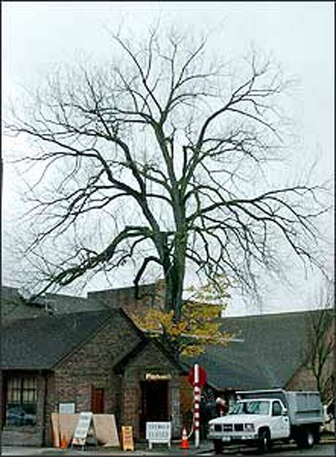 This English elm has been around since the Playhouse was built next to the UW campus in 1931. Photo: Steve Shelton