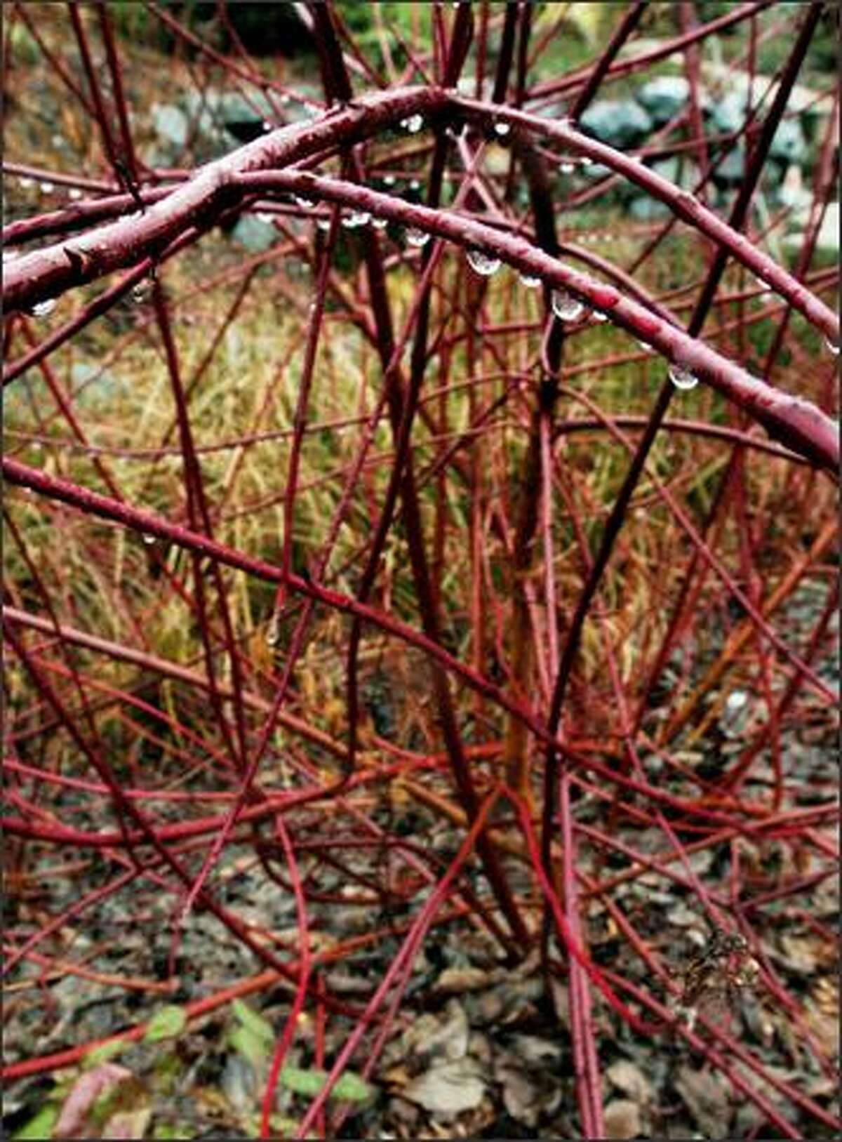 Good rain garden plants, such as the native redtwig dogwood, can survive soil that is rain-saturated for several months of the year and dry during the summer.