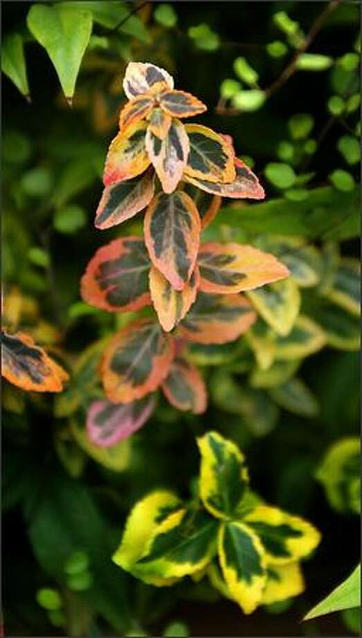 The edges of the leaves of colorful Euonymus are tinged with hues of red and yellow. Photo: Scott Eklund/Seattle Post-Intelligencer