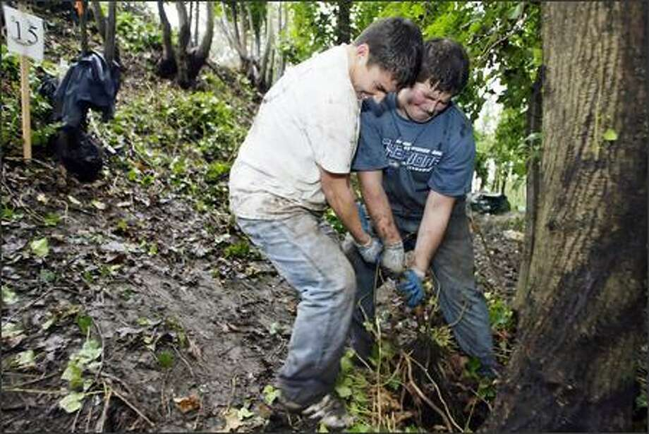 Leon Grandstrom, left, and Juston Frisk pull ivy roots away from a tree on the southern slope of Dr. Jose Rizal Park on Beacon Hill. (Editor's Note: Grandstrom was misidentified in the original version of this photo caption.) The two high school students were part of a volunteer work force of about 170 people that cleared invasive plants from the park. Photo: Jim Bryant/Seattle Post-Intelligencer