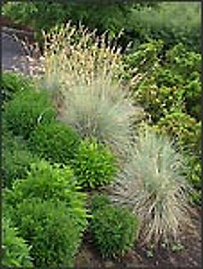 Blue oat grass (Helictotrichon sempervirens) adds interest in the winter garden. Photo: Monrovia